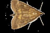 Imagen de Ostrinia nubilalis. Objetivo de productos de confusión sexual en Gramen.